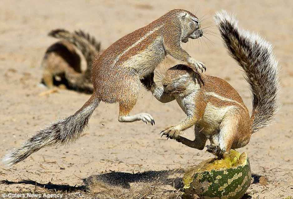 An African ground squirrel protecting his dinner, in full fight or flight mode, a reaction brought about by the autonomic nervous system