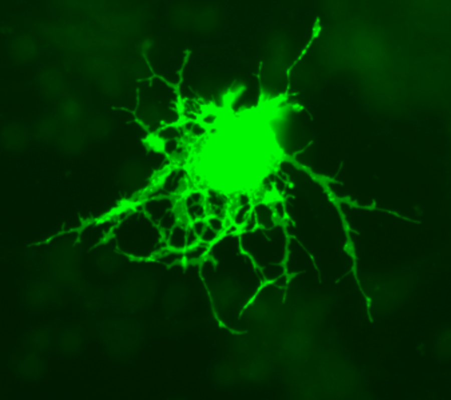 Oligodendrocyte.png
