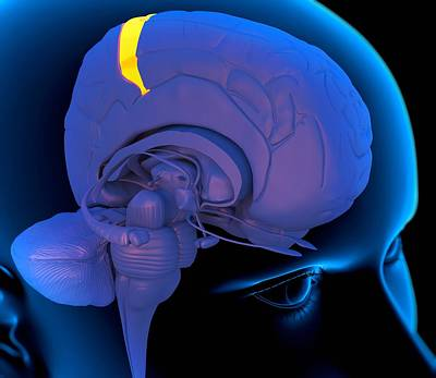 primary-somatosensory-cortex-artwork-roger-harris